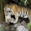 002_tiger