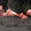 013-flamingo