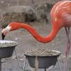 014-flamingo