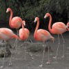 015-flamingo