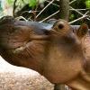 hippo_profile